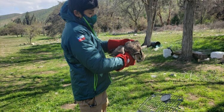 SAG Libera a tucúquere en sector de Totoralillo de la comuna de Los Vilos